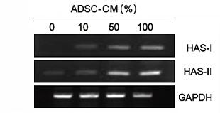 ヒアルロン酸合成酵素の発現効果