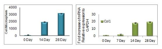 2週間経過後と4週間経過後の細胞集合体の数の推移(2)